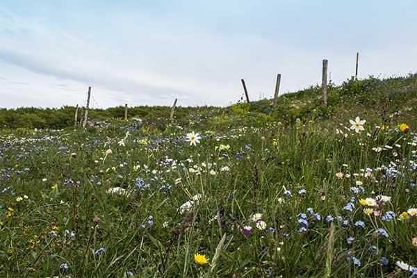 Prati fioriti di monte Tenetra.
